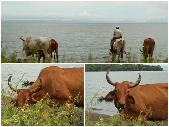 Bulls on Ometepe, Maderas, Nicaragua