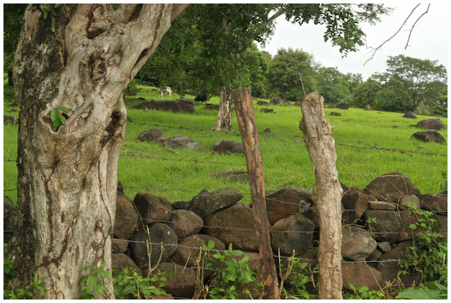 Volcanic rock is scattered throughout the fields of Ometepe