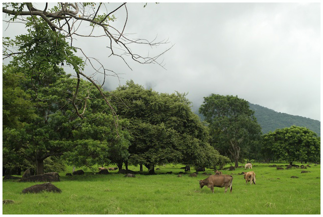 Cows and fields on Ometepe