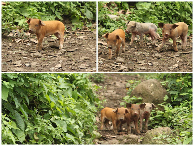 Piglets in Maderas, Ometepe, Nicaragua